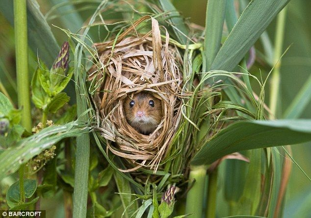 Safe as houses: A harvest mouse keeps watch from the safety of its nest made from Phragmites reeds
