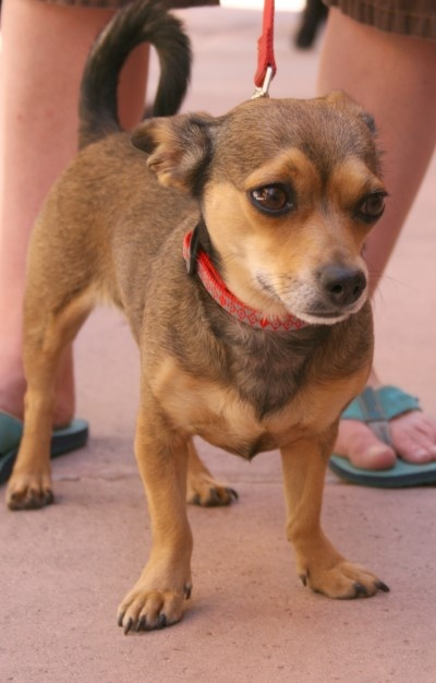 This is a chiweenie. They have various looks to them but my chiweenie, Sophie, looks JUST like this one. <3 them!