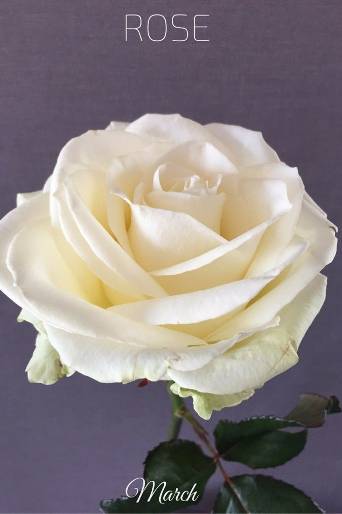 Flowers in March: Long stand White Rose Wedding Bouquet in Paris