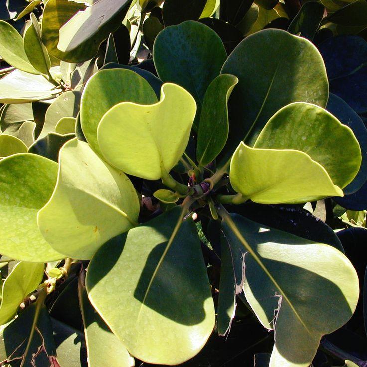 Клузия (Clusia) - род многолетних растений семейства Клузиевые (Clusiaceae). Представители рода, кустарники, полукустарники и деревья, в естественных условиях встречаются в тропиках и субтропиках Америки.