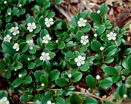 Cotoneaster Dammeri Bearberry North Slope Groundcover Foundation Sweet Pea Pinterest Evergreen Erosion Control And Plants