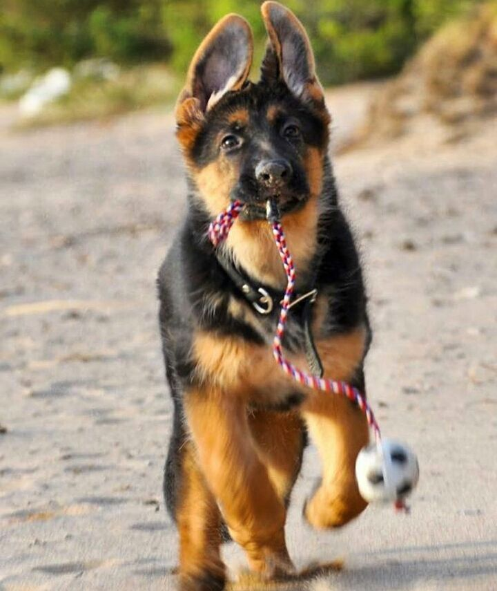 Pin By Sydney Jordan White On Cute Pics German Shepherd Dogs