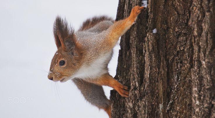 Squirrel - Squirrel in the Neskuchny Garden, Moscow, Russia