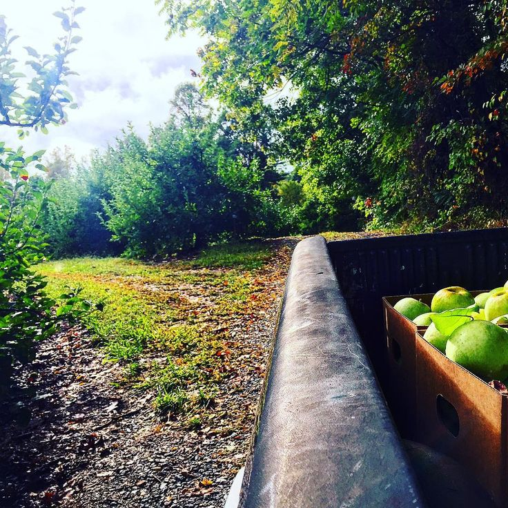 The only sun we've seen for days, and somehow discovered enough apples on one tree to make juice, in a barren orchard. #gypsyjuice #Apple #nc #local #raw #orchard #juicing #farmtobottle #designerjuicing #handcrafted #healthylifestyle #gypsyrawproducts #charlotte #nodafarmersmarket #ciderdonuts