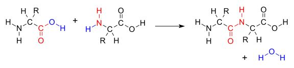 peptide bond is broken and formed using a complete chemical equation. - Google Search