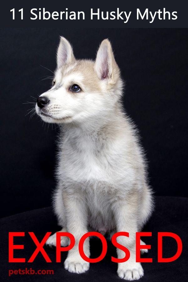 Myths About The Siberian Husky Husky Siberian Husky Facts Best