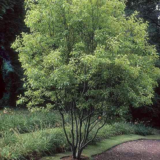 17 best images about 1032 main deciduous trees on for Fine gardens landscaping