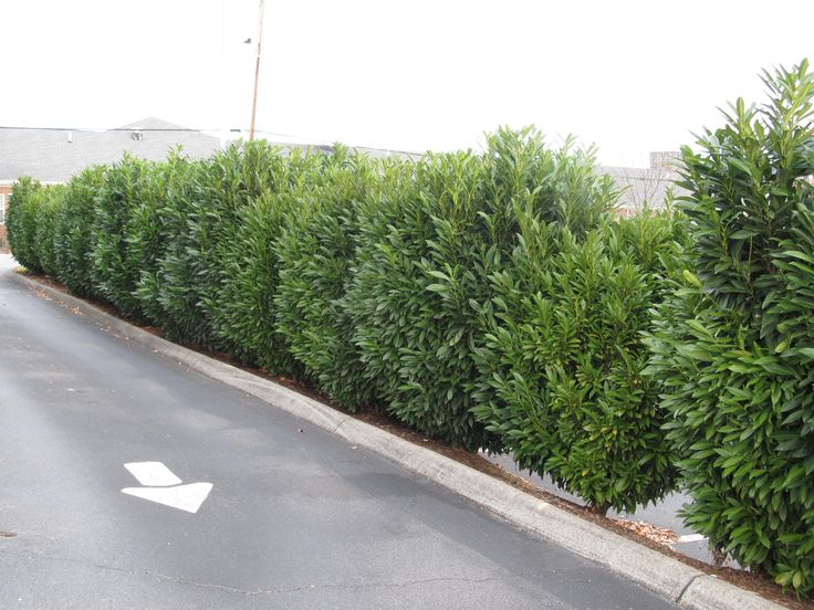 Schip laurel hedge modern landscaping pinterest cherries english and hedges - Shrubbery for privacy ...