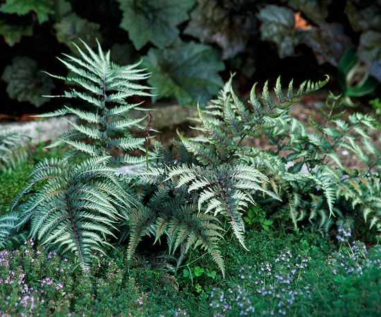 Japanese Painted Fern - low growing shade perennial.  Deer and rabbits usually leave it alone.