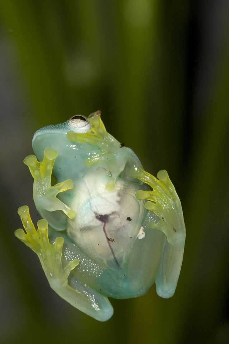 Glass frogs have such transparent skin that you can see their organs. (Photo by Mehgan Murphy, Smithsonian's National Zoo)