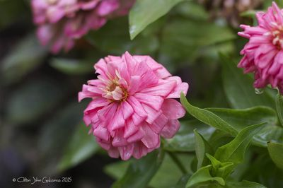 Zinnia Elegans is perfect for the front containers, or as accents in the patio garden and perennial border, The zinnia is a long-lasting flower that can cope with periods of dry, hot weather.