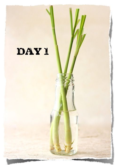 How to grow Lemongrass (from a stalk bought at the grocery store) by SeasonWithSpice.com