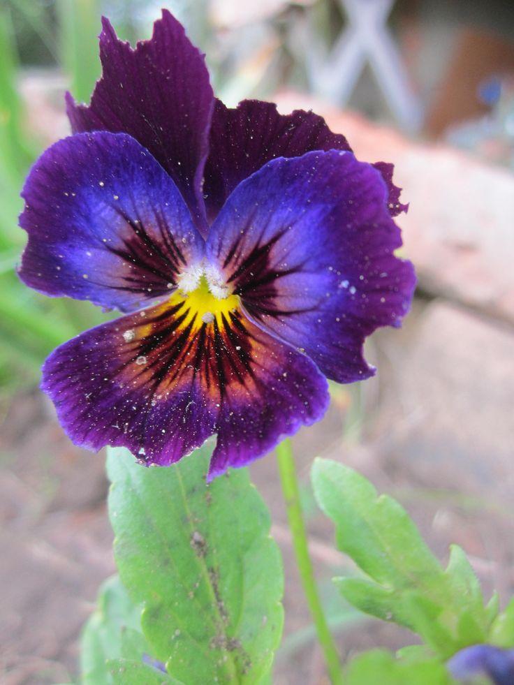 Для получения семян из числа выкапываемых растений отбирают наиболее типичные сильные компактные экземпляры и высаживают на семенные гряды (пересадку в цветущем состоянии они переносят легко). Полив необходим. Учитывая то, что анютины глазки являются перекрестноопыляющимися растениями, при посадке их на семена необходимо соблюдать пространственную изоляцию одного сорта от другого. Это позволит получить чистосортные семена. Сбор семян надо начинать, когда коробочки пожелтеют, в противном…