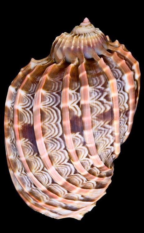 Harpa Cabritti shell. I've always loved harp shells.