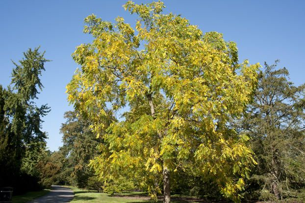 Juglans nigra (black walnut). All walnut trees (Juglans species) produce edible seeds (known commonly as nuts), but those of black walnut are notoriously difficult to extract from their husks; it is the common walnut, Juglans regia, that is cultivated commercially for its nuts.  The leaves, bark and fruits of black walnut contain juglone, a red crystalline compound, which is known to be active against tobacco mosaic virus (a virus that causes an infectious disease in crops such as tobacco…