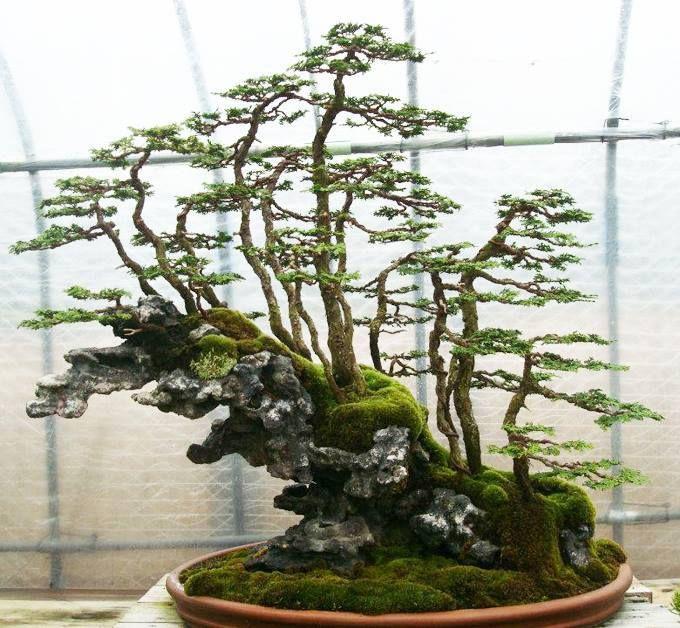 Forest style meets growing on rock style - a wonderful Bonsai landscape.    By: 詹姆士  See: www.bonsaiempire.com  #bonsai