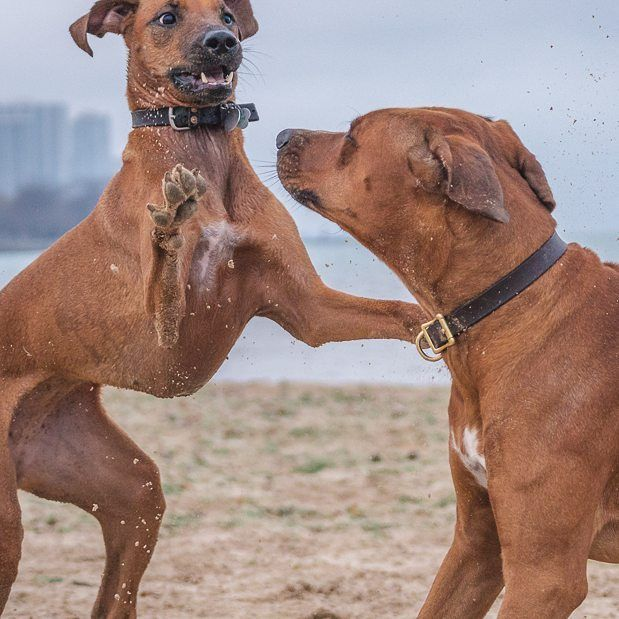 """""""WELCOME TO CHICAGO, BABY!"""" Penny gave her old pal @atlas_the_ridgeback a big Ridgeback greeting hug at Montrose Dog Beach. We had such a blast watching these two run wild. There's a bunch more photos of the awesome playdate on today's blog. -- It's alway"""