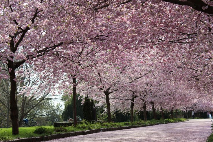 See the cherries in bloom at Bispebjerg kirkegård, Copenhagen, Denmark (picture: Christoffer Volf)