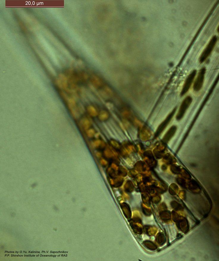 Диатомея из рода licmophora. Живая клетка. Охотское Море. Ноябрь 2014 года.