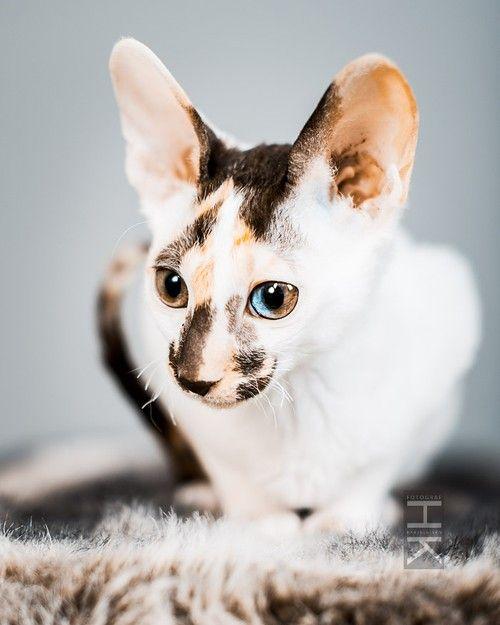Cornish Rex kitten, odd eye. Helena Karjalainen. http://roomservice.blogg.se/2014/february/cornish-rex-var-kattunge-ar-inne-i-fotostudion-2.html