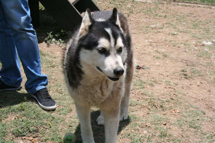 -540 _ Apache. 7,5 Year old black &white male with 2 brown eyes.  He loves to cuddle and get a scratch behind his ears. He is very gentle & loves to play. Jasper@huskyrescue.co.za