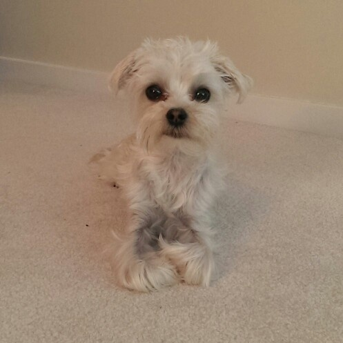 Frederick Maryland Dogs For Sale