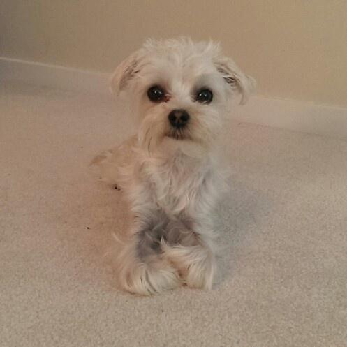 White morkie skinny after haircut. Morkie Milo's Life