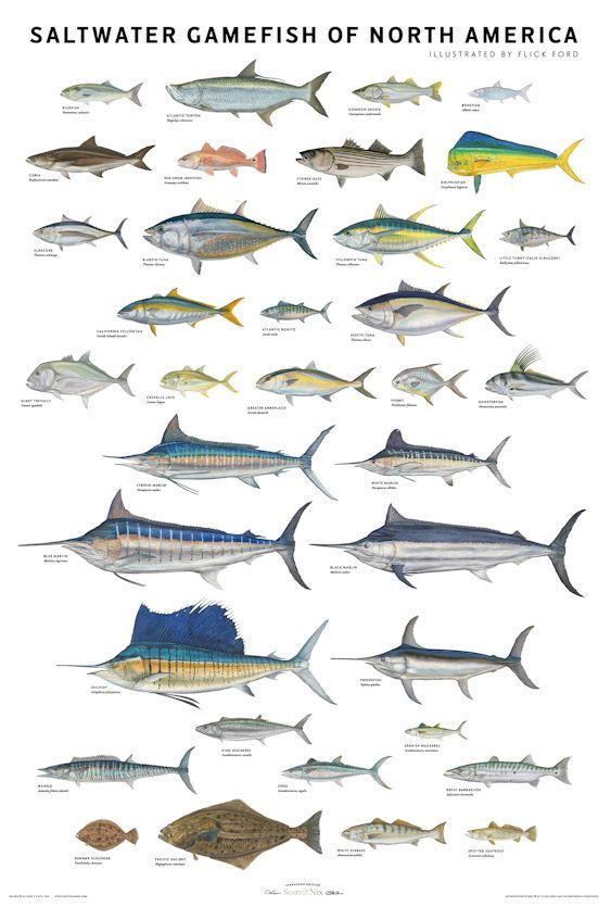 Gamefish in North America.