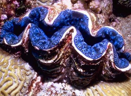 Great Barrier Reef Giant Clams