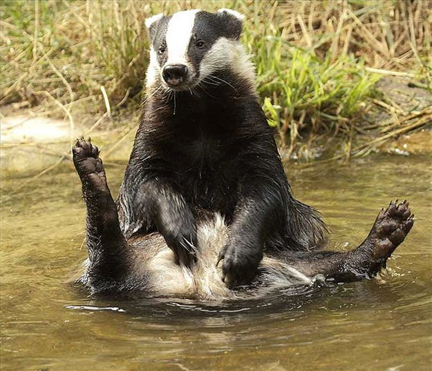 The Contented Badger.   You do not know what it means to be content unless you happen to have been, at some point in your life, a badger with no pressing obligations and a puddle to sit in.