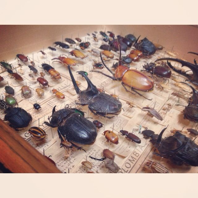 Blackburn Museum unveils its collection of Bowdler's Beetles for the first time to celebrate the 100th anniversary of the Collection at Blackburn Museum and Art Gallery.