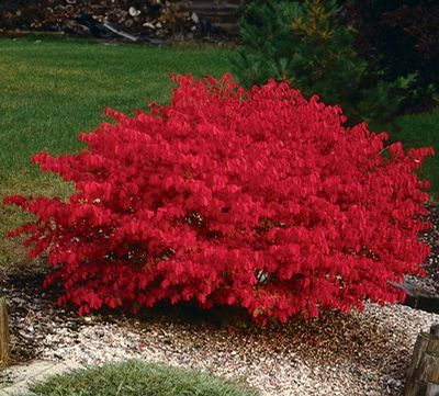 Burning Bush- dark green in the summer, red in the fall. Easy to grow and minimal care.