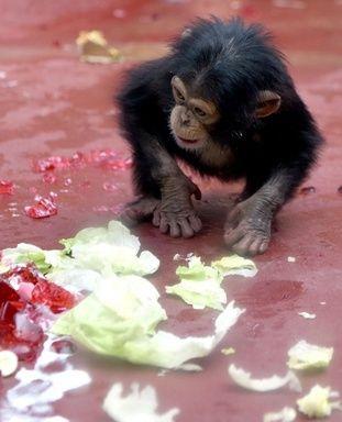 赤ちゃんチンパンジー、1歳誕生日の悲劇!? 写真3枚 国際ニュース:AFPBB News