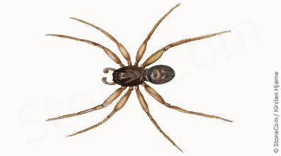 Strand-dværgedderkop - Erigone arctica - Coast Money-spider