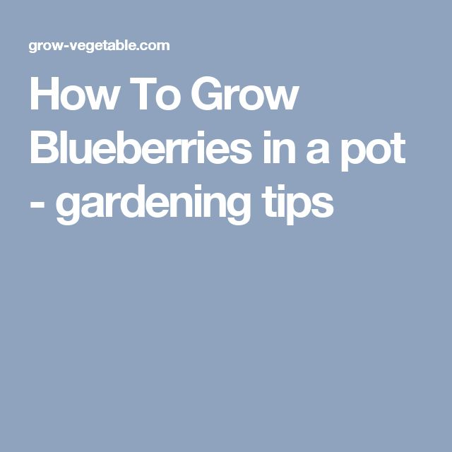 How To Grow Blueberries in a pot - gardening tips