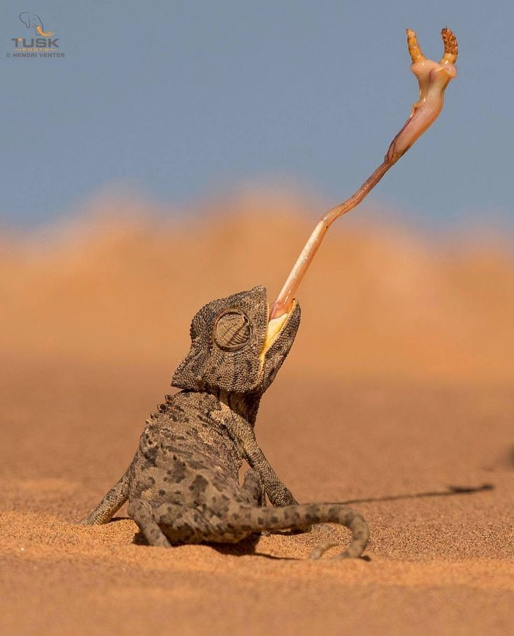 Wildlife Animals & Nature — .  Photo by @hendriventer Namaqua Chameleon in the...