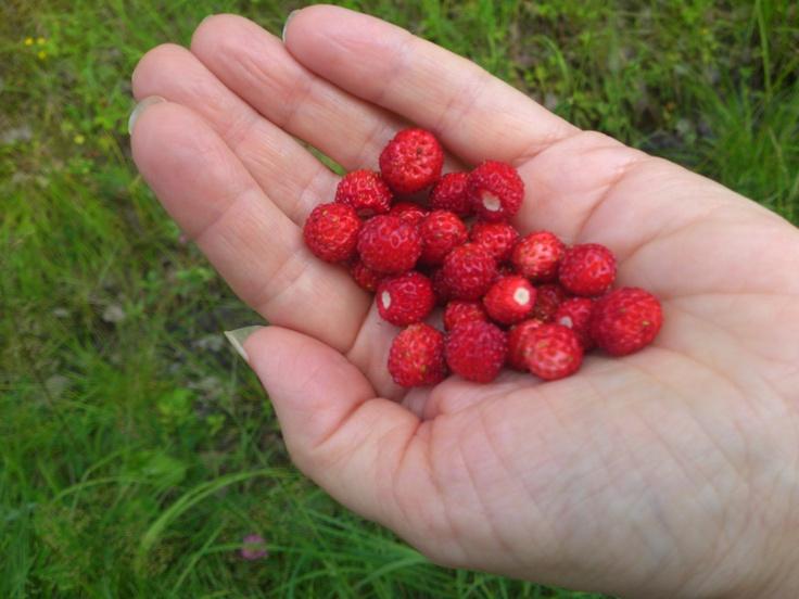 Wild strawberries in my neighbourhood. Sweden 2012.
