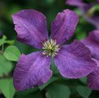 C5 Clematis Étoile Violette clematis (group 3) Position: full sun or partial shade Soil: fertile, well-drained, neutral soil Rate of growth: fast-growing Flowering period: July to September Flower colour: deep purple Hardiness: fully hardy H: 5m S: 1.5m  This vigorous, late summer-flowering clematis produces a profusion of deep purple flowers with creamy-yellow centres from July to September.