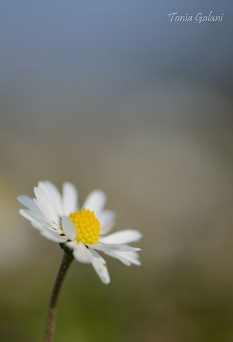 Early spring... (Anthemis sp.)