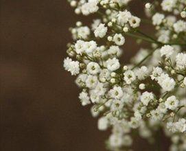 Million Stars - Gypsophila - Flowers by category   Sierra Flower Finder