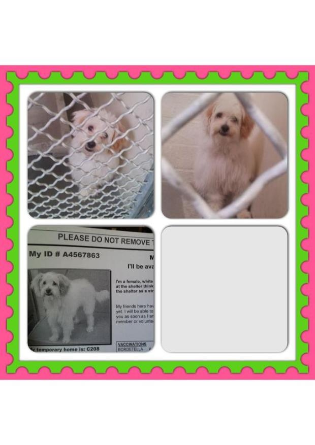Im scared and I want a home. I dont want to die - please come get me -   Paw Protectors Rescue Liked · about an hour ago   Beautiful 1 year old Female Havanese mix available for Adoption at the Carson Animal Shelter in Gardena.  Carson Animal Shelter  216 W. Victoria Street Gardena, CA Phone: 310-527-5158 Animal ID#4567863   Came into the Carson Shelter as a stray on 04-23-2013 and will be available 04-27-2013. Like ·  · Share