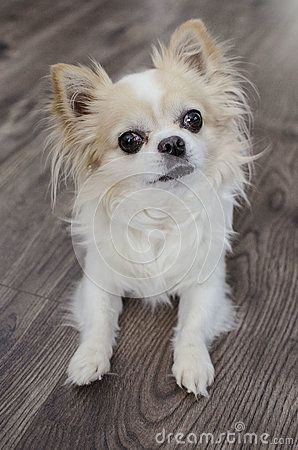 Brown and white chihuahua on wooden background