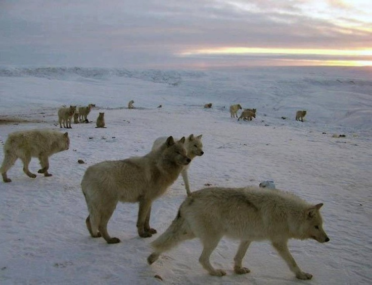large pack of Arctic wolves in the tundra ---- wild and free........