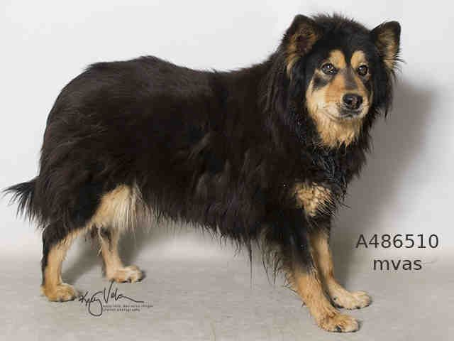 Super Urgent Cheyenne A486510 Moreno Valley Ca Female Black And