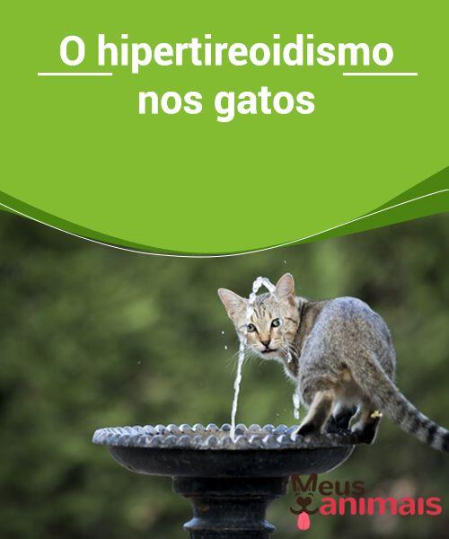 c202260fd23dd O hipertireoidismo nos gatos O  hipertireoidismo nos  gatos é uma   doençaendócrina que costuma