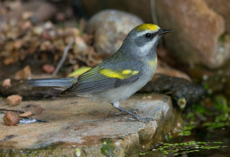 Golden Winged Warbler - Female