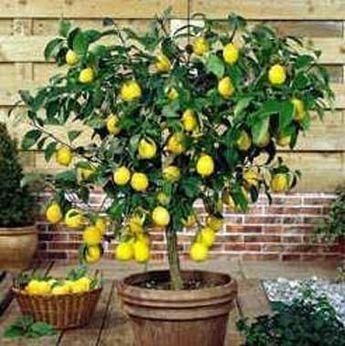 Conseil pour planter un citronnier dans un pot à partir d'un pépin de citron