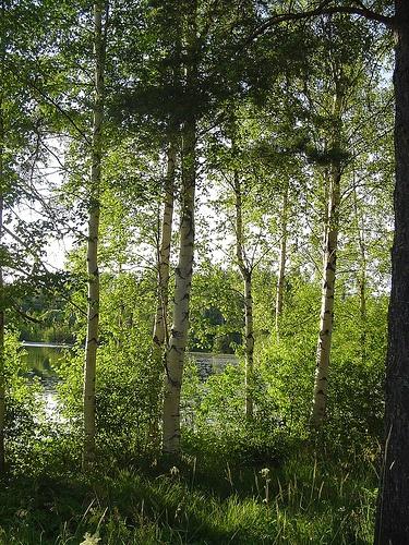 Birch trees in the sun in Puijonlaakso.