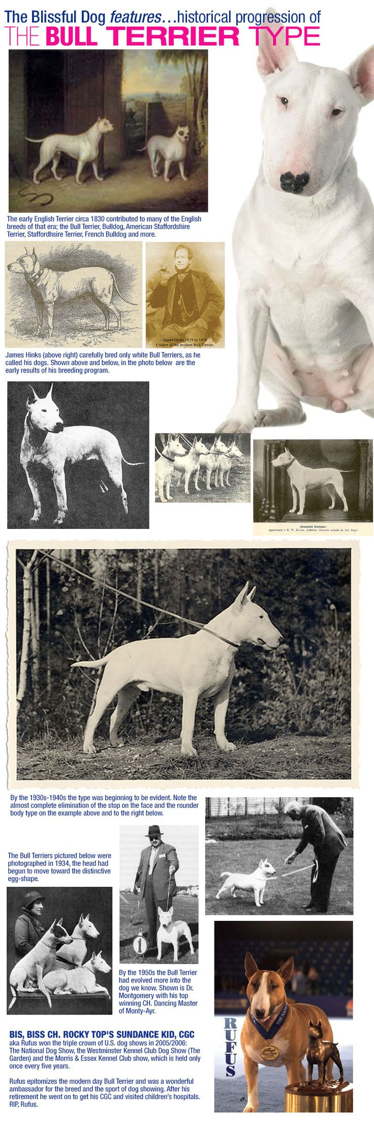The Bull Terrier has evolved from a leggy white terrier type to the muscular dog with the swagger and distinctive egg-shaped head in the last 100 years.