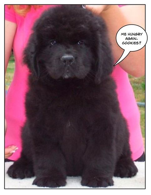 cute newfoundland puppies - Google Search | FUNNY ...